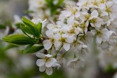 Λουλούδια δέντρων της Apple το σπόρος-φέρον μέρος εγκαταστάσεων, που αποτελείται από τα αναπαραγωγικά όργανα stamens και carpels  Στοκ φωτογραφία με δικαίωμα ελεύθερης χρήσης