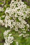 Λουλούδια δέντρων της Apple το σπόρος-φέρον μέρος εγκαταστάσεων, που αποτελείται από τα αναπαραγωγικά όργανα stamens και carpels  Στοκ εικόνα με δικαίωμα ελεύθερης χρήσης