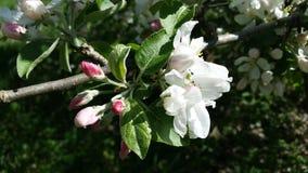 Λουλούδια δέντρων της Apple Στοκ εικόνες με δικαίωμα ελεύθερης χρήσης