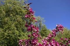 Λουλούδια δέντρων της Apple Στοκ Φωτογραφία