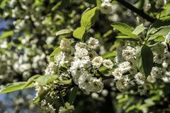 Λουλούδια δέντρων της Apple Στοκ φωτογραφία με δικαίωμα ελεύθερης χρήσης