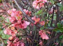 Λουλούδια δέντρων της Apple - purpurea Malus στον κήπο στο φυσικό υπόβαθρο Στοκ Φωτογραφίες