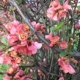 Λουλούδια δέντρων της Apple - purpurea Malus στον κήπο στο φυσικό υπόβαθρο Στοκ Εικόνες