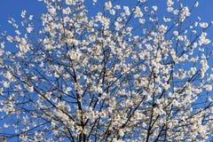 Λουλούδια δαμάσκηνων κερασιών Στοκ φωτογραφία με δικαίωμα ελεύθερης χρήσης