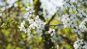 Λουλούδια δαμάσκηνων ως υπόβαθρο Στοκ Φωτογραφίες