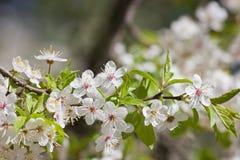 Λουλούδια δαμάσκηνων Στοκ Εικόνες