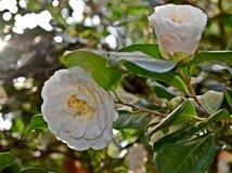 λουλούδια δύο λευκό στοκ εικόνες