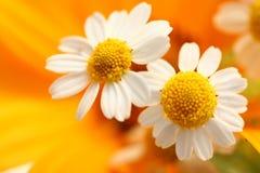 λουλούδια δύο Στοκ Φωτογραφία