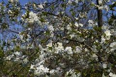 Λουλούδια ενός δέντρου στους κλάδους Ο οπωρώνας κερασιών Στοκ Φωτογραφίες