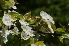 Λουλούδια ενός δέντρου στους κλάδους Ο οπωρώνας κερασιών Στοκ φωτογραφία με δικαίωμα ελεύθερης χρήσης