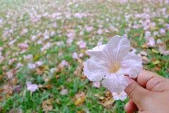 Λουλούδια ενός τα γλυκά ρόδινα tabebuia σωρών περιέρχονται στο θηλυκό χέρι Α κρατώντας ένα γλυκό ρόδινο λουλούδι tabebuia με το π στοκ φωτογραφία με δικαίωμα ελεύθερης χρήσης