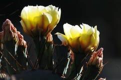 Λουλούδια ερήμων σε ένα Catcus Στοκ Εικόνες
