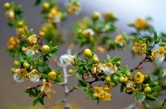 Λουλούδια ερήμων στην άνθιση Στοκ φωτογραφίες με δικαίωμα ελεύθερης χρήσης