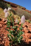 λουλούδια ερήμων Στοκ Φωτογραφία
