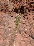 Λουλούδια ερήμων Sedona Στοκ Εικόνες