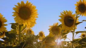 Λουλούδια ηλίανθων στον τομέα στο υπόβαθρο μπλε ουρανού φιλμ μικρού μήκους