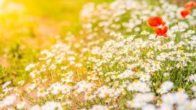 Λουλούδια θερινών λιβαδιών και μαργαριτών στο ηλιοβασίλεμα ενάντια ανασκόπησης μπλε σύννεφων πεδίων άσπρο σε wispy ουρανού φύσης  στοκ φωτογραφία με δικαίωμα ελεύθερης χρήσης