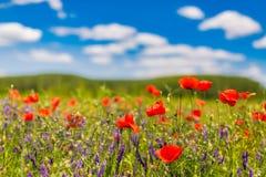 Λουλούδια θερινών παπαρουνών και υπόβαθρο τοπίων μπλε ουρανού Όμορφα λιβάδι θερινής φύσης και υπόβαθρο λουλουδιών στοκ εικόνα με δικαίωμα ελεύθερης χρήσης