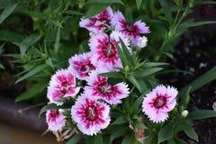 Λουλούδια ι που βλέπουν στις 17 Μαρτίου Granbury Τέξας Στοκ φωτογραφία με δικαίωμα ελεύθερης χρήσης