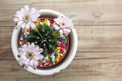 Λουλούδια κάκτων Gymnocalycium δοχεία στα όμορφα εγκαταστάσεων στη τοπ άποψη Στοκ Φωτογραφία