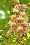 λουλούδια κάστανων Στοκ εικόνες με δικαίωμα ελεύθερης χρήσης