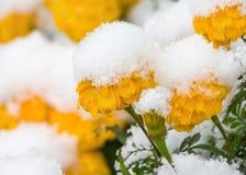 Λουλούδια κάτω από το χιόνι Στοκ εικόνα με δικαίωμα ελεύθερης χρήσης