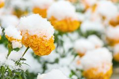 Λουλούδια κάτω από το χιόνι Στοκ εικόνες με δικαίωμα ελεύθερης χρήσης