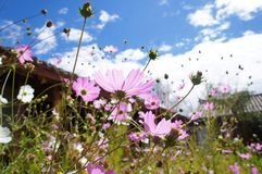 Λουλούδια Κίνα-Lijiang στοκ φωτογραφίες