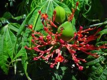 Λουλούδια και εκρηκτική dehiscence κάψα φρούτων του jatropha με τα έντομα Στοκ Φωτογραφίες