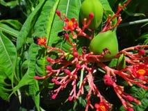 Λουλούδια και εκρηκτική dehiscence κάψα φρούτων του jatropha με τα έντομα Στοκ εικόνα με δικαίωμα ελεύθερης χρήσης