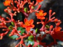 Λουλούδια και εκρηκτική dehiscence κάψα φρούτων του jatropha Στοκ Εικόνες