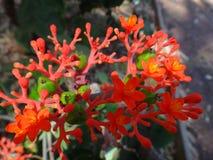 Λουλούδια και εκρηκτική dehiscence κάψα φρούτων του jatropha Στοκ φωτογραφία με δικαίωμα ελεύθερης χρήσης