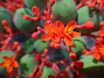 Λουλούδια και εκρηκτική dehiscence κάψα φρούτων του jatropha Στοκ εικόνα με δικαίωμα ελεύθερης χρήσης