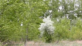 Λουλούδια και ισχυρός άνεμος Apple-δέντρων σε έναν κήπο απόθεμα βίντεο
