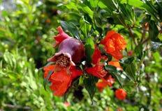 Λουλούδια και καρποί του ροδιού Στοκ φωτογραφία με δικαίωμα ελεύθερης χρήσης