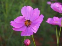 Λουλούδια και μέλισσες Στοκ Φωτογραφίες