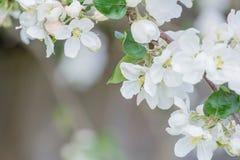 Λουλούδια και οφθαλμοί δέντρων της Apple με το όμορφο bokeh Στοκ εικόνες με δικαίωμα ελεύθερης χρήσης