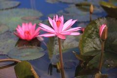 Λουλούδια και οφθαλμοί κρίνων νερού που ανθίζουν στη λίμνη Στοκ φωτογραφία με δικαίωμα ελεύθερης χρήσης