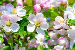 Λουλούδια και οφθαλμοί λουλουδιών στο δέντρο μηλιάς Στοκ Εικόνες
