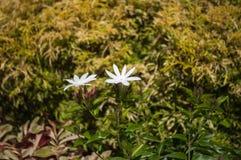 Λουλούδια και οφθαλμοί της Jasmine στον κήπο Στοκ φωτογραφία με δικαίωμα ελεύθερης χρήσης