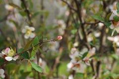 Λουλούδια και οφθαλμός ροδάκινων την άνοιξη Στοκ Φωτογραφίες