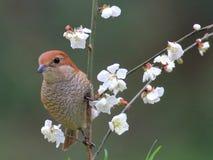 Λουλούδια και πουλιά άνοιξη, πεισματάρη Shrike και άνθη κερασιών Στοκ Εικόνες