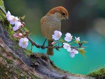Λουλούδια και πουλιά άνοιξη, πεισματάρη Shrike και άνθη κερασιών Στοκ Φωτογραφία