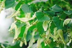 Λουλούδια και σπόροι του δέντρου ασβέστη στοκ φωτογραφία