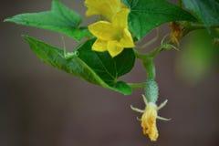 Λουλούδια και φρούτα αγγουριών που αυξάνονται στο φυτικό κήπο στοκ εικόνα