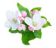 Λουλούδια και φύλλα δέντρων της Apple Στοκ εικόνες με δικαίωμα ελεύθερης χρήσης