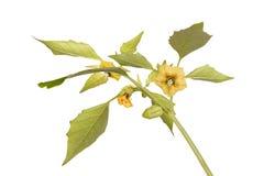Λουλούδια και φύλλα ενός φυτού tomatillo Στοκ Εικόνες
