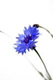 Λουλούδια καλαμποκιού Στοκ εικόνα με δικαίωμα ελεύθερης χρήσης