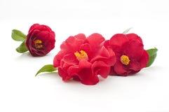 λουλούδια καμελιών Στοκ εικόνα με δικαίωμα ελεύθερης χρήσης