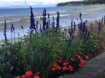 Λουλούδια κατά μήκος του θαλάσσιου περίπατου παραλιών Qualicum στοκ εικόνες